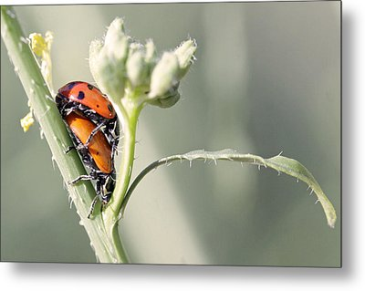 Ladybug Love Metal Print by Shoal Hollingsworth