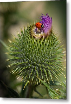 Metal Print featuring the photograph Ladybug On Thistle by Janis Knight
