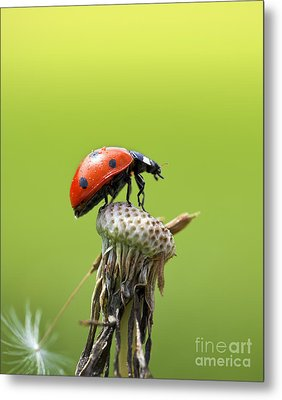 Ladybug On Top Of A Dandelion In The Sunlight Metal Print by Brandon Alms