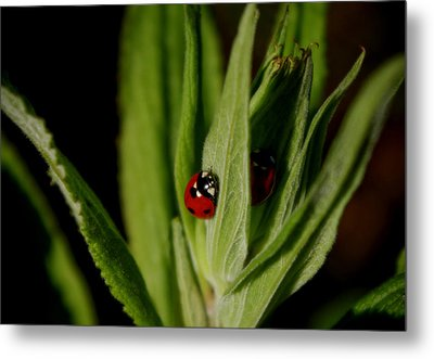 Metal Print featuring the photograph Ladybugs by Adria Trail