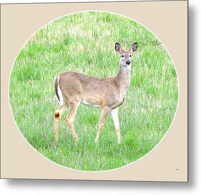 Lake Country Doe   Metal Print by Will Borden