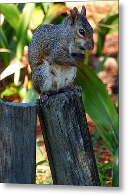 Metal Print featuring the photograph Lake Howard Squirrel 019 by Chris Mercer