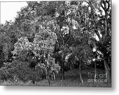 Metal Print featuring the photograph Lake Lopez Oaks Bw    by Gary Brandes