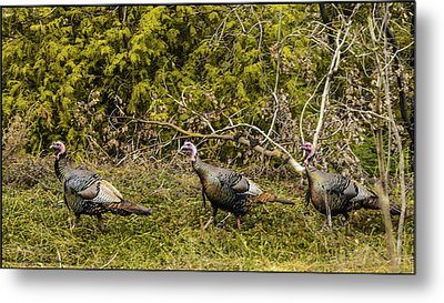 Lake Michigan Wild Turkey Metal Print by LeeAnn McLaneGoetz McLaneGoetzStudioLLCcom