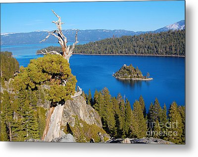 Lake Tahoe Reaching Tree Metal Print