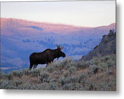 Lamar Valley Moose Metal Print by Jeff Lucas