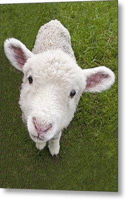 Metal Print featuring the photograph Lamb by Dennis Cox WorldViews