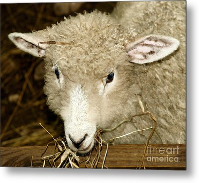 Lamb Metal Print by Raymond Earley
