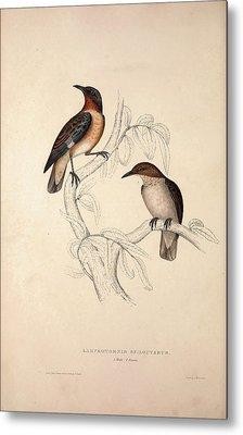 Lamprotornis Spilopterus, Winged Starling. Birds Metal Print