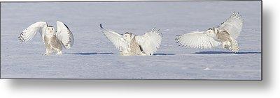Landing Snowy Owl Metal Print by Mircea Costina Photography
