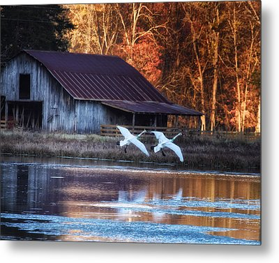 Landing Trumpeter Swans Boxley Mill Pond Metal Print by Michael Dougherty