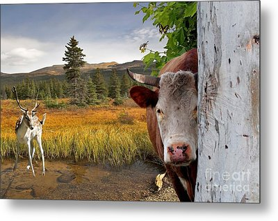Landscape - Animals - Peek A Boo Cow Metal Print by Liane Wright