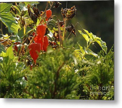 Metal Print featuring the photograph Lantern Plant by Brenda Brown