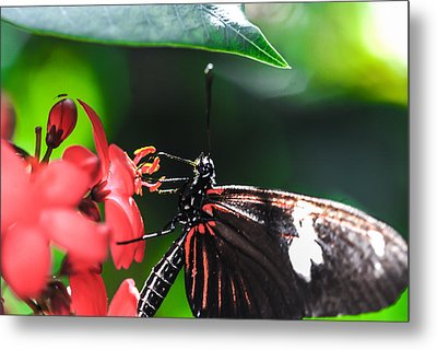 Laparus Doris Butterfly Metal Print by Optical Playground By MP Ray