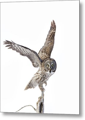 Lapland Owl On White Metal Print by Mircea Costina Photography