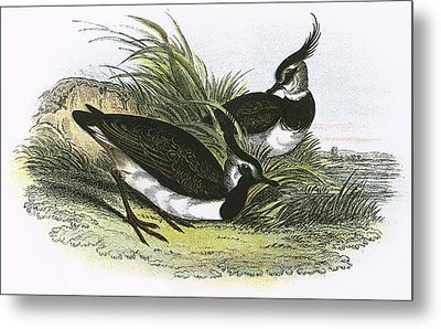 Lapwing Metal Print by English School