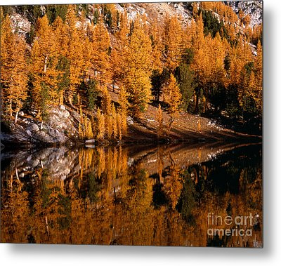 Larch Trees Reflected On Cooney Lake Metal Print