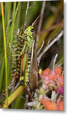 Large Marsh Grasshopper Metal Print by Bob Gibbons