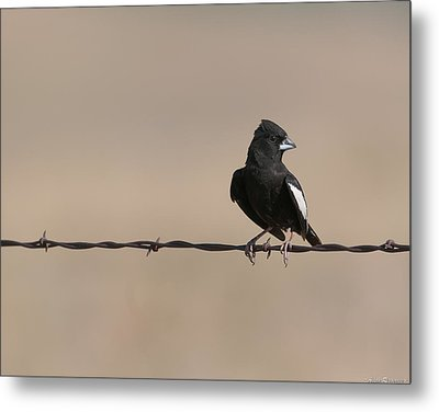 Metal Print featuring the photograph Lark Bunting by Avian Resources