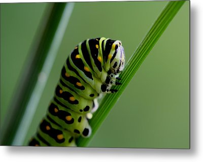 Larva...caterpillar  Metal Print by Larry Trupp
