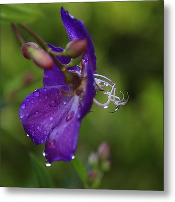 Lasiandra Flower With Raindrops Metal Print by Noel Elliot