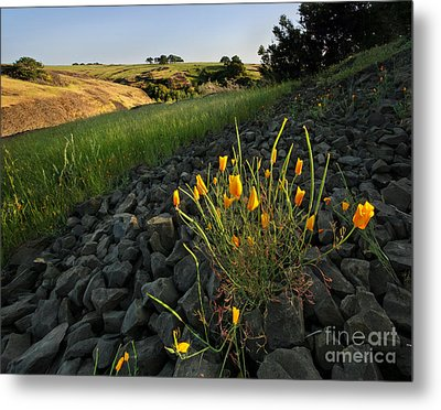 Late Poppies On North Table Mountain Metal Print by Matt Tilghman
