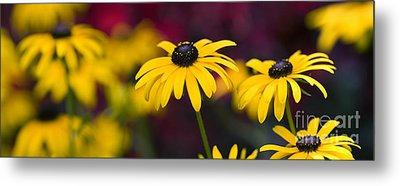 Late Summer Rudbeckia  Metal Print