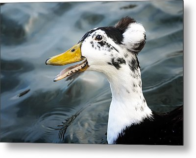 Laughing  Duck Metal Print by Caitlyn  Grasso