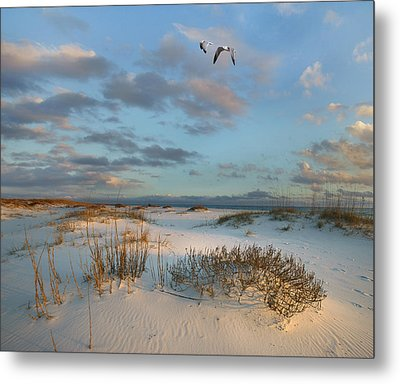 Laughing Gulls Flying Over Dunes Gulf Metal Print by Tim Fitzharris