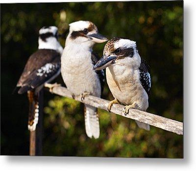 Laughing Kookaburras Metal Print by Odille Esmonde-Morgan