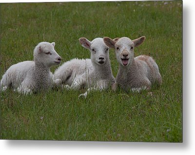 Laughing Lamb Metal Print by Richard Baker