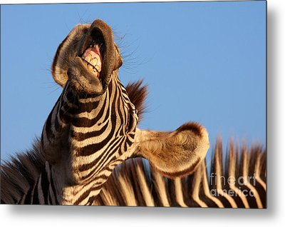 Metal Print featuring the photograph Laughing Zebra by Nick  Biemans