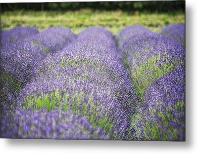 Lavender Blooms Metal Print by Vicki Jauron
