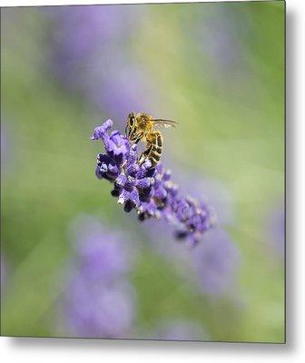Lavender Buzz Metal Print