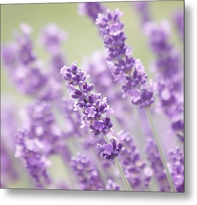 Lavender Dreams Metal Print by Kim Hojnacki