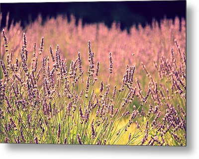 Lavender Dreams Metal Print by Lynn Sprowl