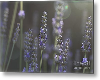 Metal Print featuring the photograph Lavender Flare. by Clare Bambers