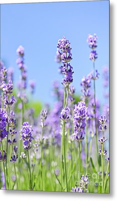 Lavender Flowering Metal Print by Elena Elisseeva