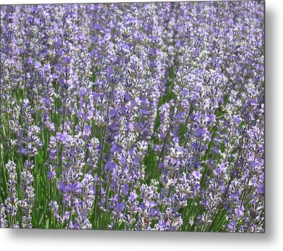 Metal Print featuring the photograph Lavender Hues by Pema Hou