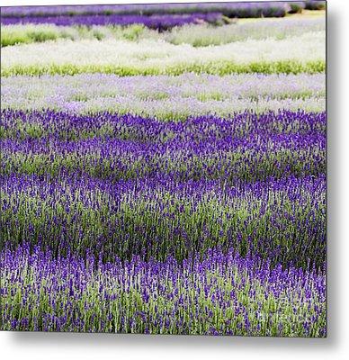 Lavender Lines  Metal Print by Tim Gainey