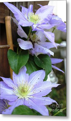 Metal Print featuring the photograph Lavender Star by Judy Palkimas