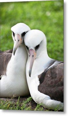 Laysan Albatross (phoebastria Metal Print