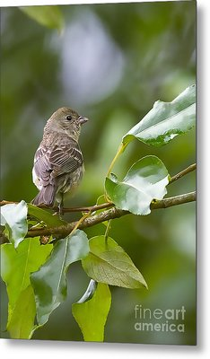 Lazuli Bunting Female 2 Metal Print by Sharon Talson