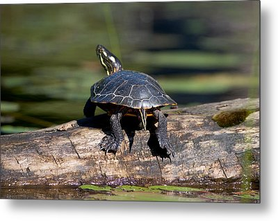 Lazy Day On A Log 6241 Metal Print by Brent L Ander