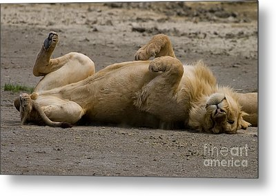 Metal Print featuring the photograph Lazy Lion by J L Woody Wooden