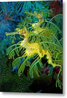 Leafy Sea Dragons Metal Print