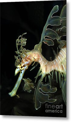 Leafy Seadragon Metal Print by Gregory G. Dimijian