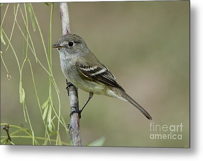 Least Flycatcher Metal Print by Anthony Mercieca