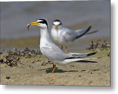 Least Tern (sterna Antillarum, Offering Metal Print
