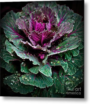 Decorative Cabbage After Rain Photograph Metal Print by Walt Foegelle